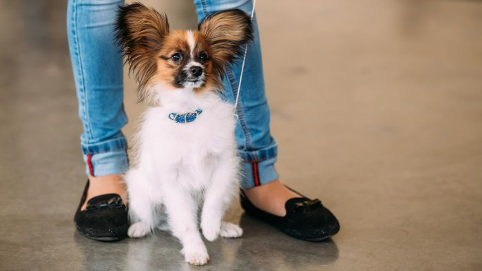 Where Can You Buy Teacup Papillon Puppies?