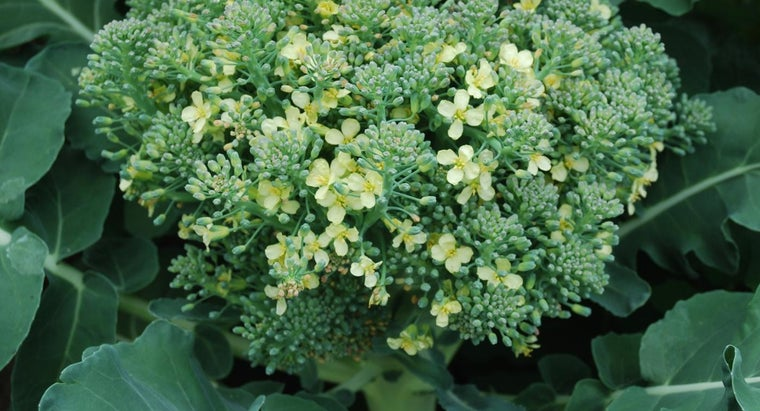 In What Plants Can You Find Quercetin?