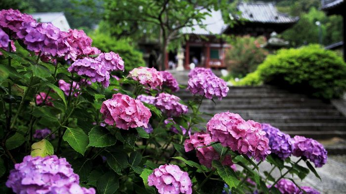What Are Some Different Varieties of Hydrangea Trees?