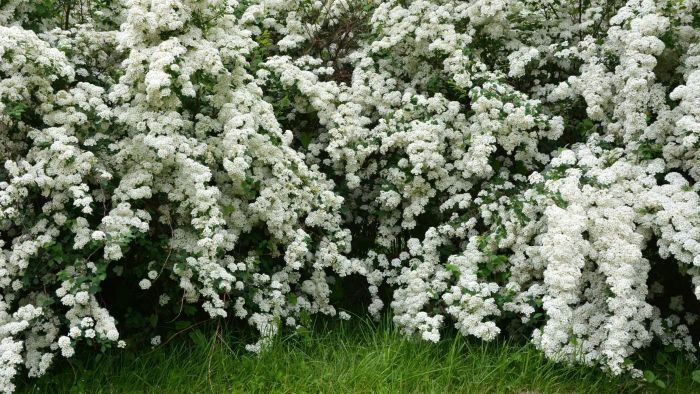What Are Some Common Varieties of Spirea?