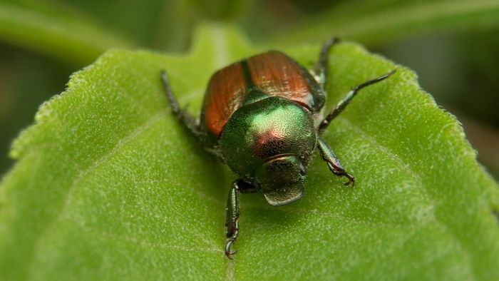 How Do You Get Rid of Japanese Beetles?