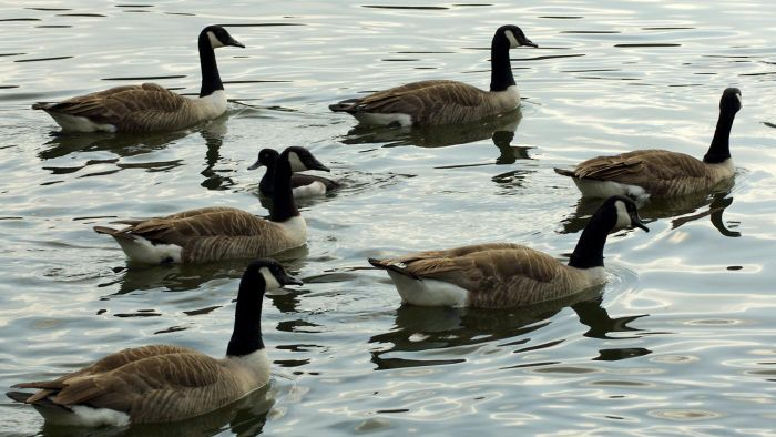 What Are Some Canadian Goose Facts?