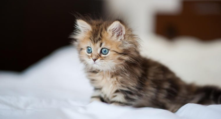 What Are Some Tips for Buying Teacup Persian Kittens?