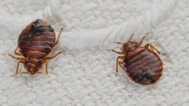 How Do You Check for Bed Bugs?