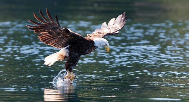 What Is the Diet of the Bald Eagle?