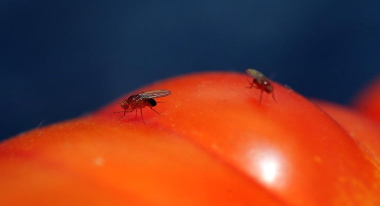 Do Homemade Fruit Fly Traps Bring More Fruit Flies Into Your House?
