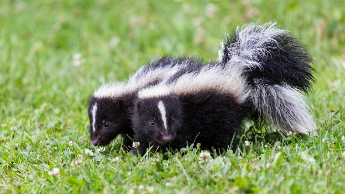 How can you get the skunk smell out of your house?