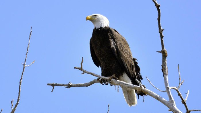 What Are Bald Eagle Nests Made Of?