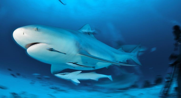 What Are Some Facts About Bull Sharks?