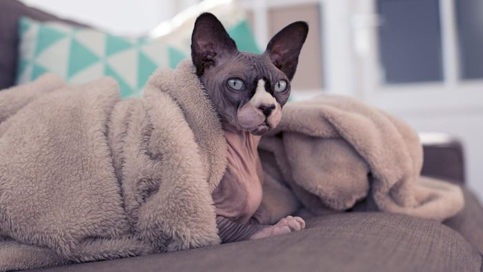 How Can You Find a Sphynx Cat for Adoption?