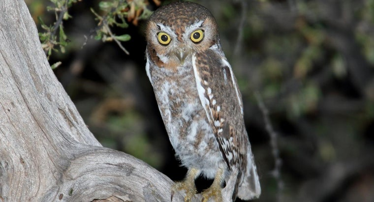What Are Some Interesting Elf Owl Facts?
