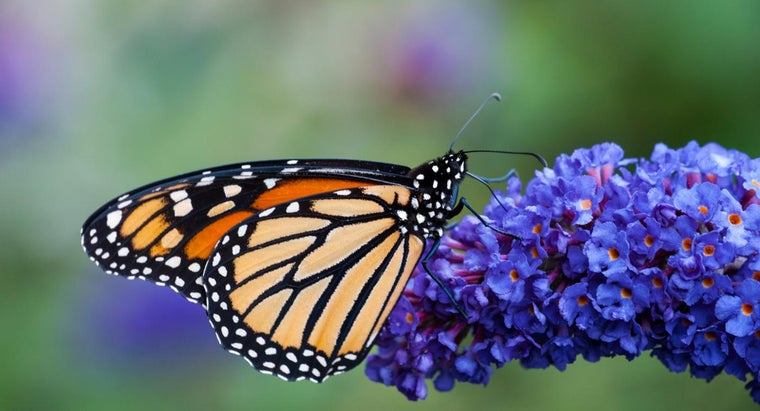Should a Butterfly Bush Be Pruned in the Fall?