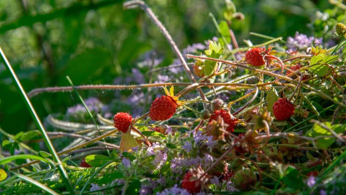 How Do You Identify Wild Berries?