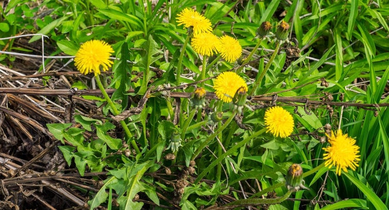 What Are the Health Benefits of Dandelion Roots?