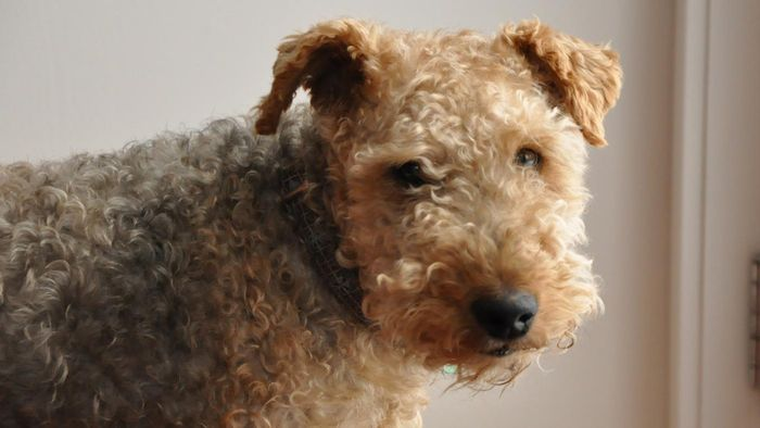 What Are Some Organizations That Rescue Welsh Terrier Puppies?