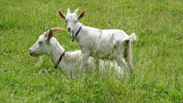 How Do You Start a Goat Farm?