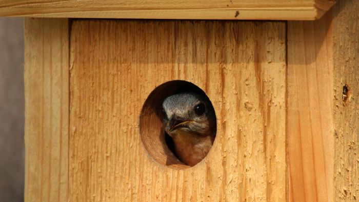 How Do You Build a Bluebird Nest Box?