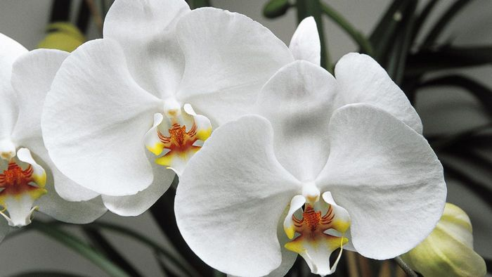 How Big Does a White Orchid Get?