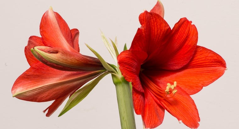 Will an Amaryllis Bulb Bloom Two Years in a Row Without Planting Outdoors?