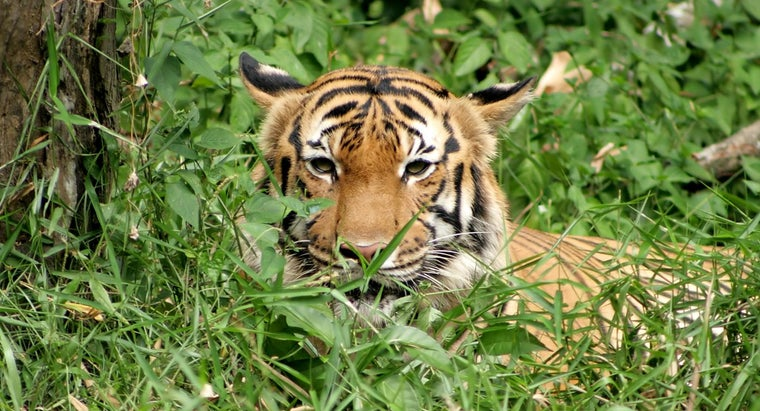 What Kind of Food Do Tigers Eat?