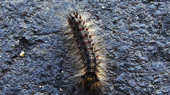What Are Some Breeds of Caterpillar Found in Arizona?