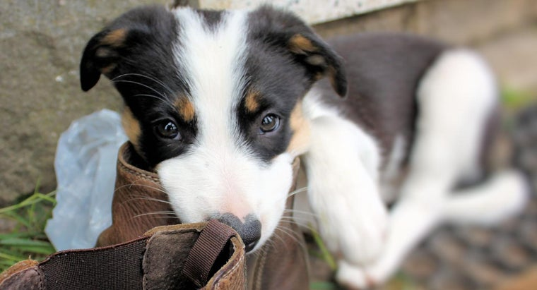 Where Can You Find Border Collie Puppies That Need Homes?