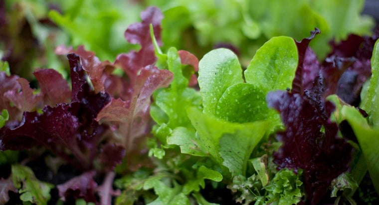 What Are Some Varieties of Lettuce?