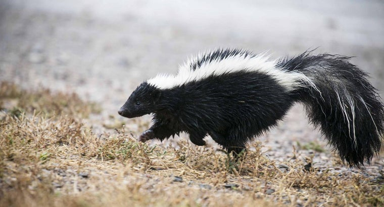 What Is the Best Bait to Use If You Want to Trap a Skunk?