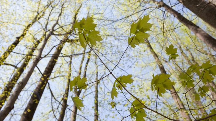 How Do You Prune a Maple Tree?
