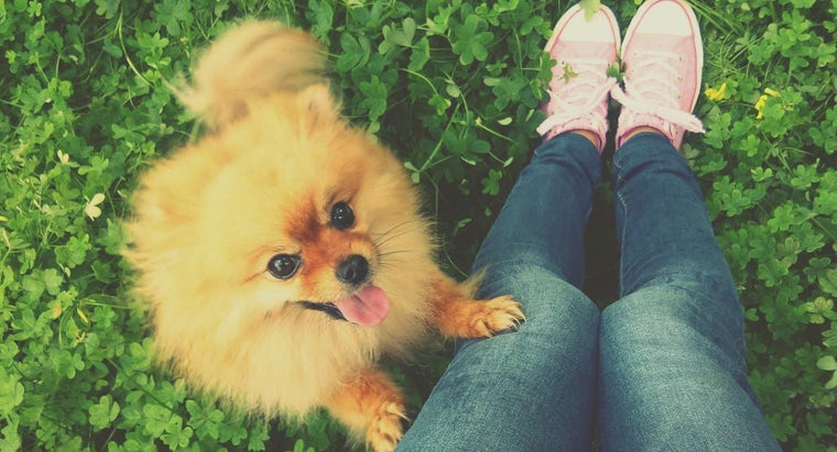 Do Any Rescue Shelters Focus on Miniature Pomeranians?