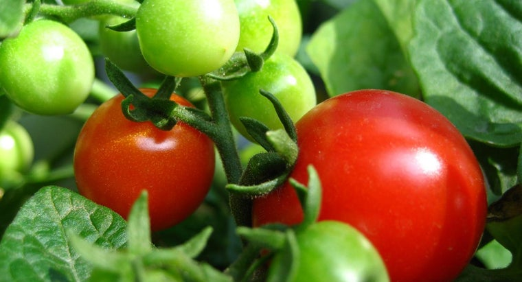 What Are Some Tomato Gardening Tips for Beginners?