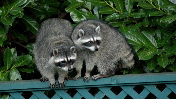 What Is a Racoon's Habitat?