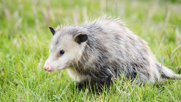 How Do You Trap a Possum?