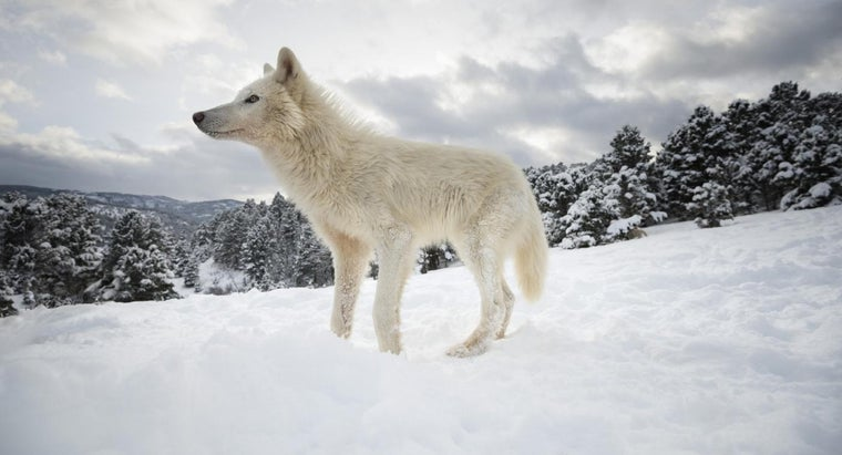 What Are Some Arctic Wolf Facts?