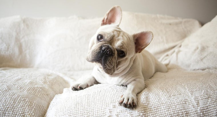 Are There Any Rescues Dedicated to Mini French Bulldogs?