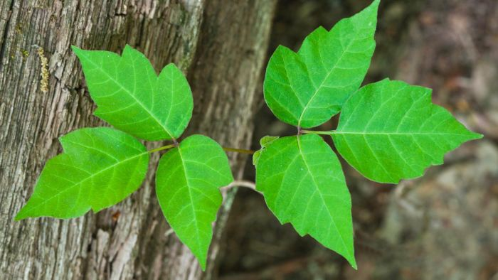 What are some good photographic aids for identifying poison ivy leaves?
