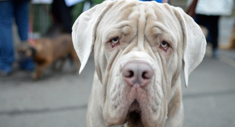 Where Can You Find a Mastiff Rescue Group for Adoption?