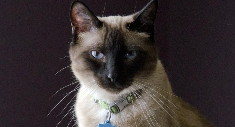 How Can You Adopt a Siamese Cat?