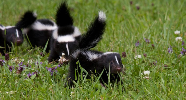 What Are Some Good Baits for Skunks?