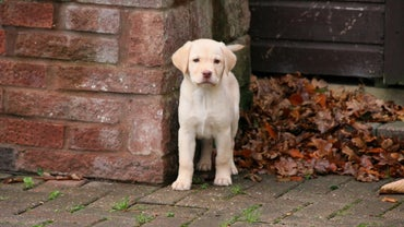 How Do You Care for a Labrador Puppy?