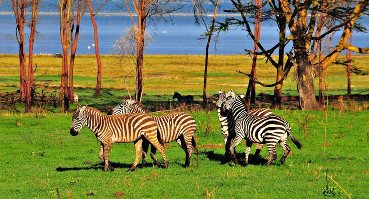 Why Are Some Species of Zebra Endangered?
