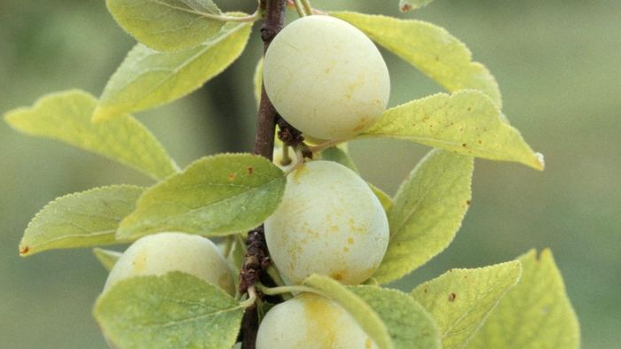 What Is a Kakadu Plum?