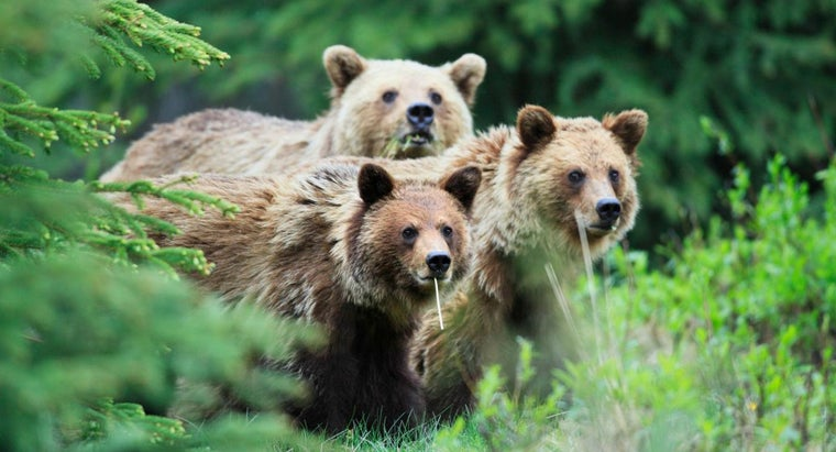 Where Do Grizzly Bears Typically Live?