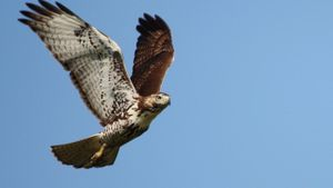 What Are Some Facts About Hawks?